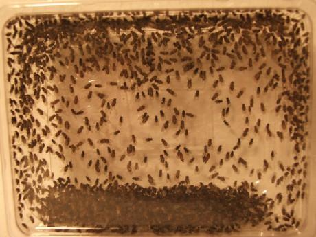 Drosophila hydei descriptive essay